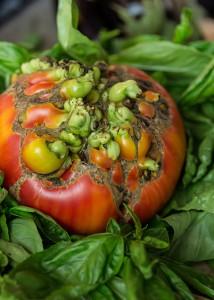 tomatesbio2